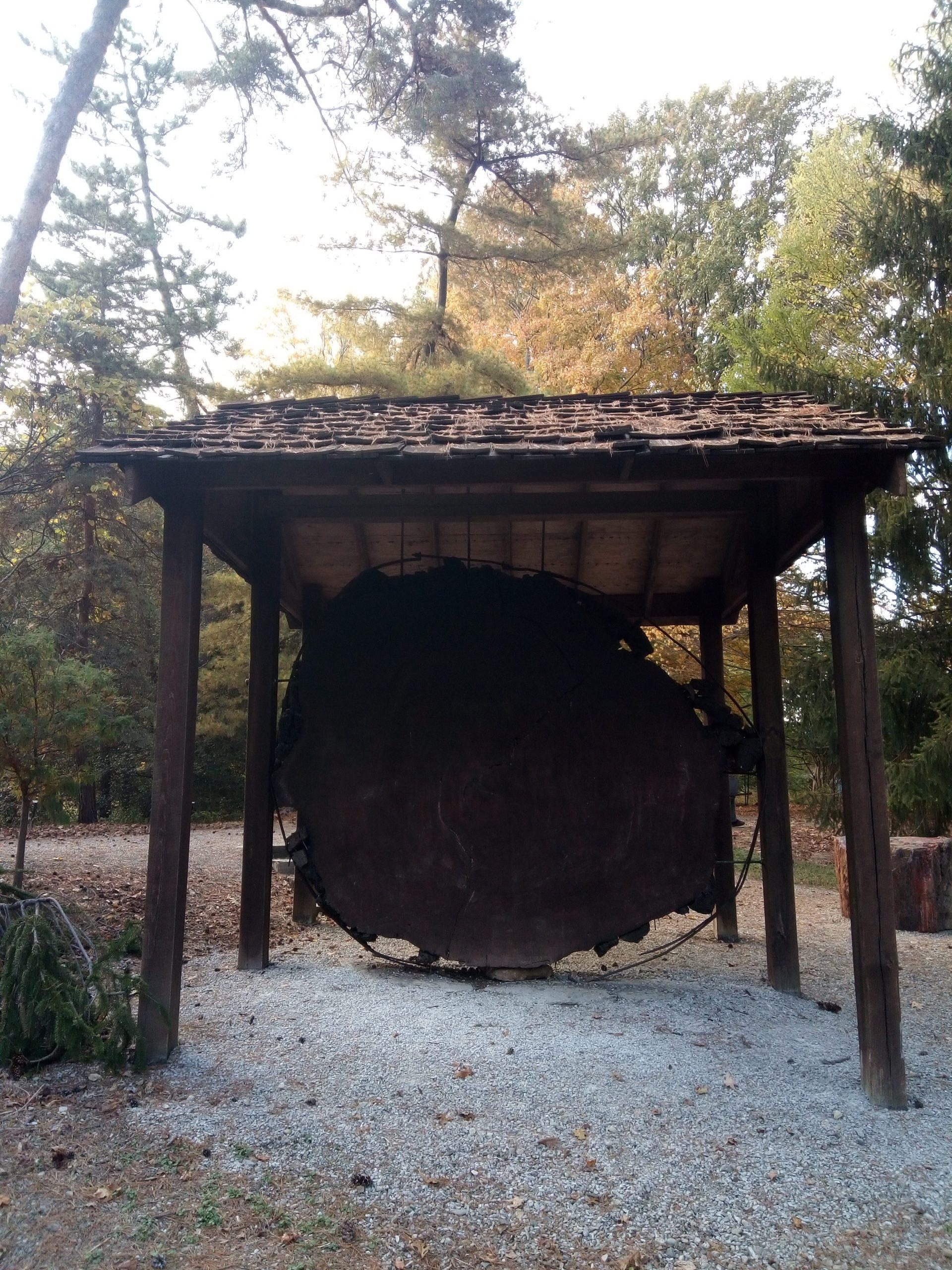 Stanley Rowe Arboretum massive tree stump