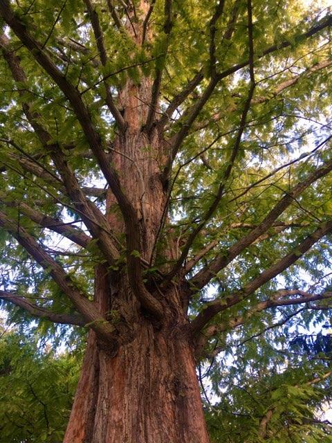Stanley Rowe Arboretum tree